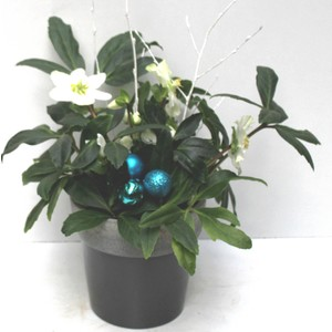 Rose de Noël. Pot gris argent 257877