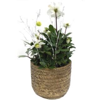 Hellébore pot or. La composition 257878