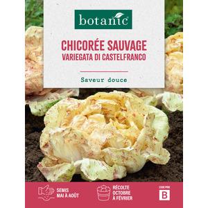 Chicorée sauvage variegata di castelfranco Insolite 261274