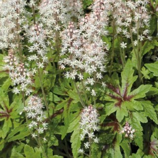 Tiarella Cordifolia Blanc. Le pot de 9x9 cm 262116
