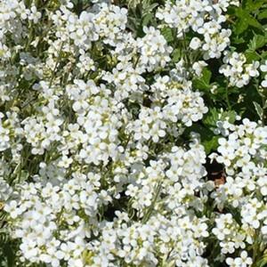Arabette Corbeille d'argent panaché botanic® – Pot 9x9 cm 264350