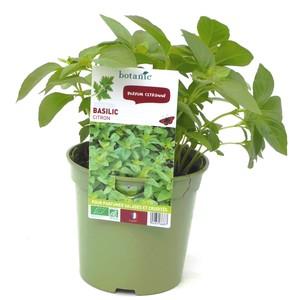 Basilic Citron. Le pot de 1 litre recyclé 265668