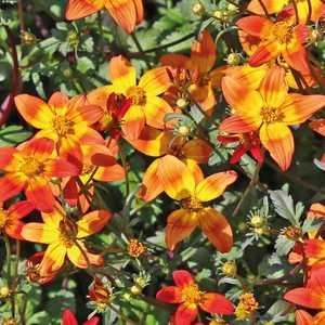 Bidens orange. Le pot de 9 x 9 cm 265674