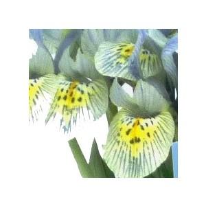 Iris Reticulata Katharina Hogkin. Le pot de 1 litre 265693