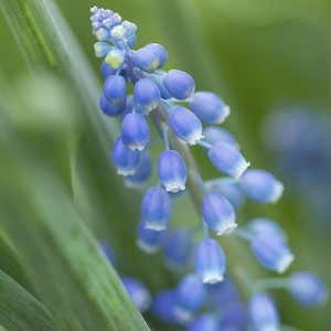 Muscari Blue Magic. Le pot de 1 litre 265696