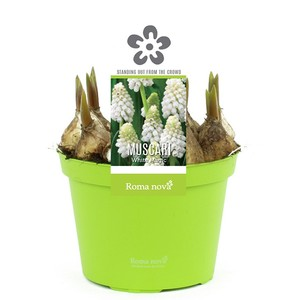 Muscari White Magic. Le pot de 1 litre 265697