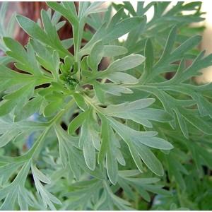 Plante répulsive Aurone. Le pot de 12 cm 265831
