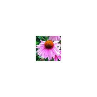 Echinacea Purpurea Powwow Wild Berry. Le pot de 3 litres 273274