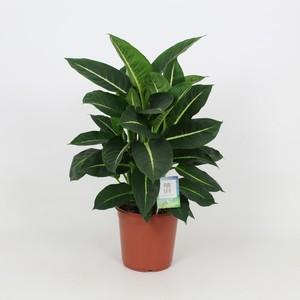 Dieffenbachia Green Magic pot Ø27xH90 cm 275406