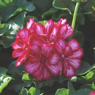 Geranium Lierre Double. Le pot de 10,5 cm 27546