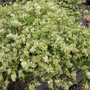 Chèvrefeuille Japonica Mint Crisp (Lonicera) jaune. Le pot de 8 litres 275778
