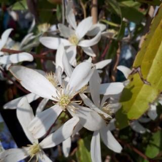 Clématite Armandii (Clematis) blanc. Le pot de 2 litres 275779