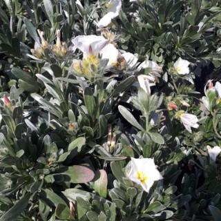Convolvulus Cneorum ou Liseron de Turquie blanc en pot de 2 L 276215