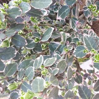 Euonymus Fortunei Emerald Gaiety panaché blanc en pot de 5 L 276914