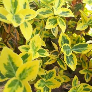 Euonymus Fortunei Emerald Gold jaune en pot de 5 L 277164