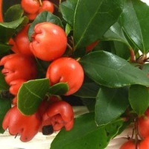 Gaultheria Red Diamond rouge en pot 277165