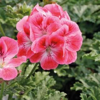 Géranium pensée à petites fleurs. Le pot de 12 x 12 cm 277720
