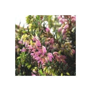 Erica Darleyensis. La jardinière de 40 cm 277959