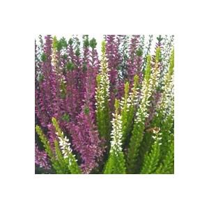 Callune naturelle. La coupe de 30 cm 277960