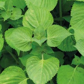Shiso Vert. Le pot de 1 litre recyclé 278073