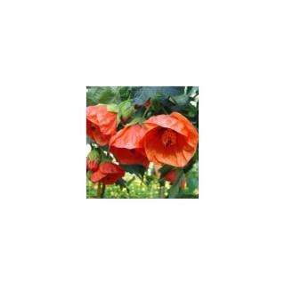 Abutilon Orange. Le pot de 9x9 cm 278140