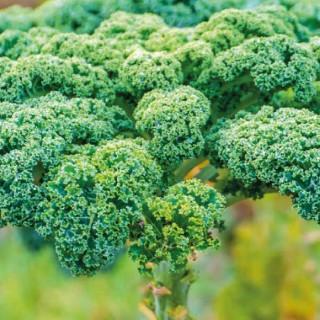 Chou Kale Halboher. La barquette de 3 plants 278595