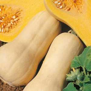 Mini Courge Butternut. Le pot de 10,5 cm 278598