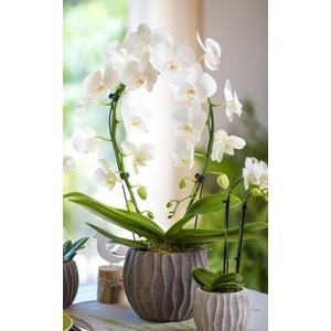 Phalaenopsis Arceau avec cache-pot Ø 12 cm 279576