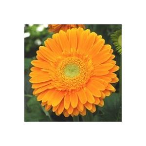 Gerbéra nain. Le pot de 12 x 12 cm 280537