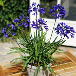 Agapanthe Brilliant Blue bleue en pot de 8 L 283007