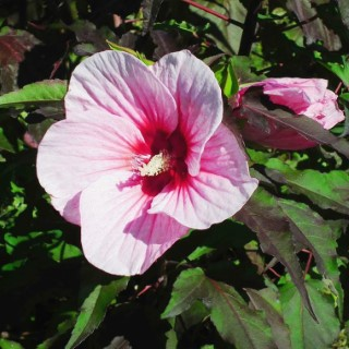 Hibiscus Moscheutos Joli Cœur rose en pot de 4 L 283041