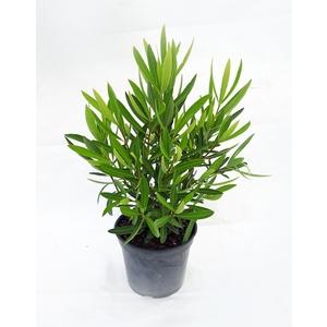 Laurier rose Jannoch (Nerium Oleander) 60/80. Le pot de 5 litres 283109