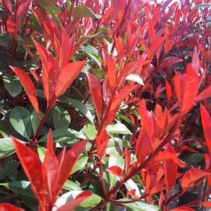 Photinia Fraseri Carré rouge 30/40 cm en pot de 3 L 283115