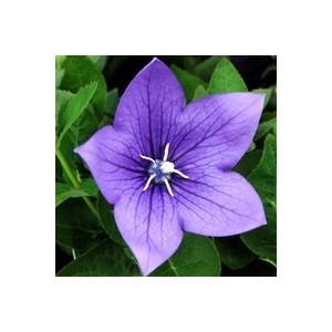 Platycodon grandiflorus bleu en pack de 4 plants 283298