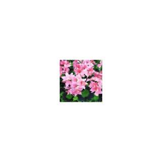 Géranium zonale à fleurs étoilées. Le pot de 2,5 litres 283526