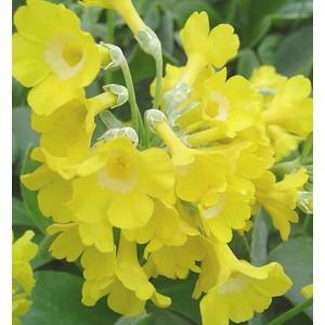 Primula officinalis jaune en pot de 1 L 288264