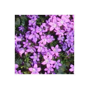 Campanule Addenda. La jardinière de 40 cm 289144