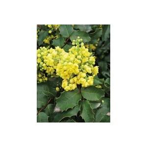 Mahonia Aquifolium en pot de 3 L 809415