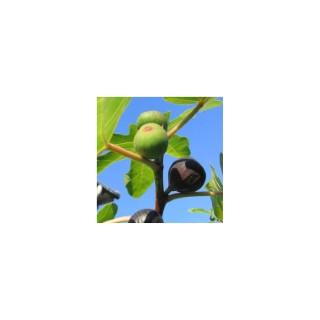 Figuier Rouge de Bordeaux Bio 1/2 tige en conteneur de 10 L 289288