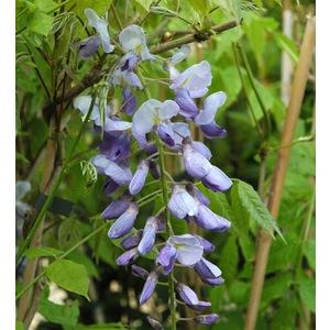 Glycine (Wisteria Chinensis). Le pot de 18 litres 289384