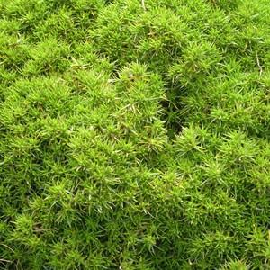 Sclaranthus biflorus vert en pot de 1 L 290427