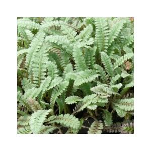 Leptinella Squalida. Le pot de 1 litre 290432