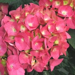Hydrangea Macrophylla Little en pot 290530
