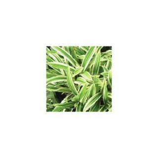 Carex Ciliatomarginata. Le pot de 2 litres 290751