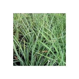 Carex Panicea. Le pot de 2 litres 290753
