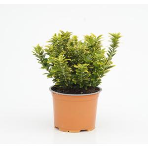 Euonymus Jap. Micro. Panache. Le pot diam 12 cm 290815
