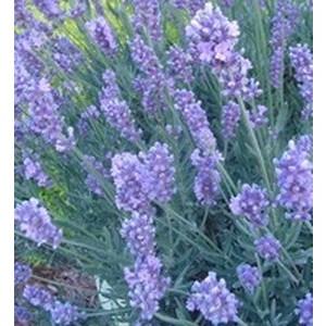Lavandula Angistifolia. Le pot de 1 litre 291251