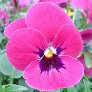 Pensée à grandes fleurs. La suspension diam 27 cm 291320