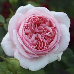 Rosier Bobino coloris rose parfum fruité en pot de 3 L 293360