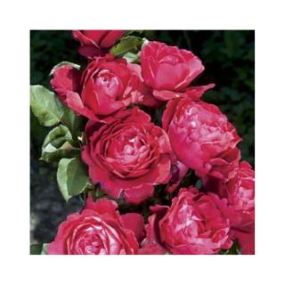 Rosier Lorie Pester coloris rouge parfumé en pot de 3 L 293361